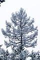 "Дерево на ""смотровой площадке"" - panoramio (2).jpg"