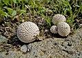Дождевик - Lycoperdon - Puffball - Пърхутка - Stäublinge (23854383040).jpg
