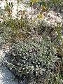 Крейдяні відслонення Artemisia hololeuca.jpg