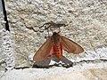 Медведица бурая - Ruby Tiger - Phragmatobia fuliginosa - Zimtbär (16486067123).jpg