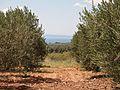 Оливковая роща - panoramio.jpg
