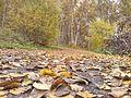 Осення листва 2013 - panoramio.jpg