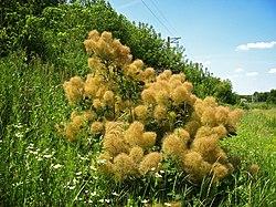 Скумпия кожевенная European smoketree (Cotinus coggygria).jpg