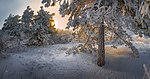 Сосновый лес в заказнике Брык.jpg