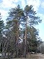 Сосны - panoramio (41).jpg