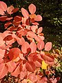 Тетра – листа (есен).jpg