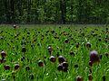 Цветы НПП Гомольшанский лес.jpg