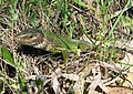 Ящірка зелена самка. Запоріжжя.jpg