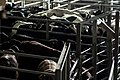 פרות מחכות לשחיטה בבית מטבחיים.jpg
