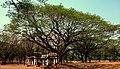 ต้นไม้ใหญ่ ณ เมืองเก่า.jpg