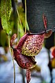 หม้อข้าวหม้อแกงลิง tropical pitcher plants Genus Nepenthes Photographed by Trisorn Triboon 13.jpg