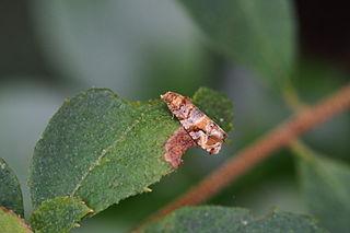 <i>Lobesia aeolopa</i>