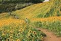 三ノ倉ひまわり畑2013-09-11 - panoramio.jpg