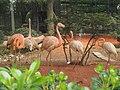 南京红山森林动物园火烈鸟 - panoramio.jpg