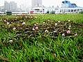 含羞草 Mimosa - panoramio.jpg