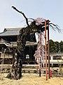 正永寺の枝垂れ桜①.jpg