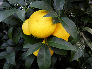 Japanese citrus - A Shonan Gold fruit