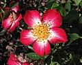 玫瑰 Rosa Star Profusion -波蘭華沙 Powsin PAN Botanical Garden, Warsaw- (36229622820).jpg