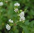 甜菊 Stevia rebaudiana -泰國清邁花展 Royal Flora Ratchaphruek, Thailand- (9240149538).jpg