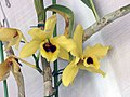 石斛蘭 Dendrobium Golden Blossom -香港青松觀蘭花展 Tuen Mun, Hong Kong- (9213295739).jpg