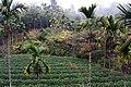 茶園 Tea Gardens - panoramio (1).jpg