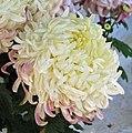 菊花-白泥金球 Chrysanthemum morifolium 'White Gold Dust Ball' -香港圓玄學院 Hong Kong Yuen Yuen Institute- (12009937075).jpg