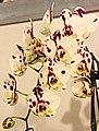 蝴蝶蘭 Phalaenopsis Yushan I Cash -台南國際蘭展 Taiwan International Orchid Show- (39129451770).jpg