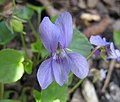 高寒堇菜 Viola labradorica -德國 Titisee, Germany- (9198184139).jpg