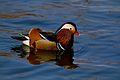 鸳鸯 mandarin ducks.jpg