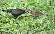 A Shiny Cowbird chick being fed by a Rufous-collared Sparrow