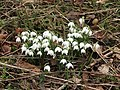-2019-02-12 Snowdrops onthe common, Lower Southrepps (3).JPG
