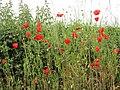-2020-06-08 Red poppies, Middle Street, Trimingham, Norfolk.JPG