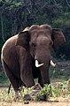 001 Forest Elephant, Kerala by N A Nazeer.jpg
