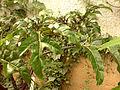 00500 - Solanum atropurpureum.JPG