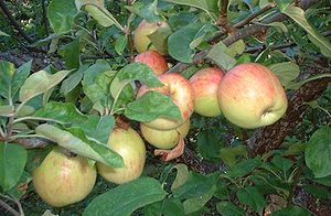 Cooking apple - Yellow Gravenstein