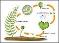 04 ciclo reproductivo helecho(1).jpg