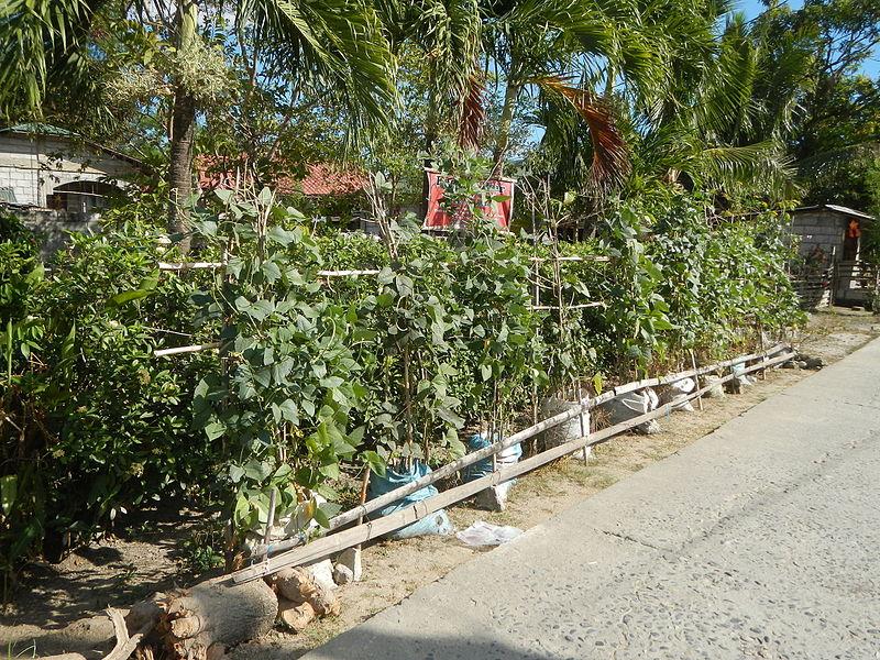 Archivo: 05537jf Embajador de habas del este de Caabaducan Village Nampicuan Nueva Ecijafvf 04.JPG