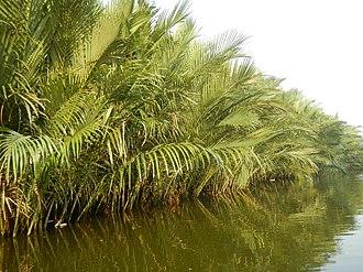 Nipa palm vinegar - Nipa palms along the riverbanks in Bulacan
