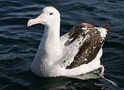 070226 wandering albatross off Kaikoura 3.jpg