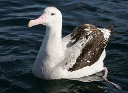 Wandering Albatross off Kaikoura, New Zealand