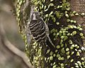 070319 Japanese pygmy woodpecker Q0S3304 - Flickr - Lip Kee.jpg