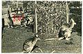 08165-Portland, Ore.-1906-Kängaroos in City Park-Brück & Sohn Kunstverlag.jpg