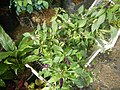 0998Ornamental plants in the Philippines 02.jpg