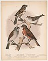 1. Song sparrow. Melospiza melodia. 2. Chipping sparrow. Spizella socialis. 3. White throated sparrow. Zonotrichia albicollis. 4. Fox colored sparrow. Passerelia iliaca LCCN2003664031.jpg