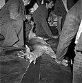 18.05.76 à l'école vétérinaire de Toulouse, opération d'un brocard jeune cerf (1976) - 53Fi903.jpg