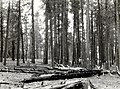 1924. Marking a group of infested ponderosa pine. The spotter has blazed 21 trees recently attacked by bark beetles in a heavy center of infestation. Kaibab National Forest, Arizona. (26445233419).jpg