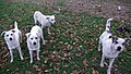 20071107 Bucuresti dogs.jpg