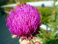2008 06 20 - 3626 - Annapolis Junction - Flower (3434719249).jpg