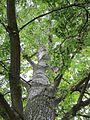 20120828Pappel Saarbeuecken2.jpg