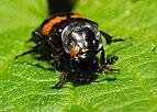 2013-06-04 16-06-24-Coleoptera.JPG
